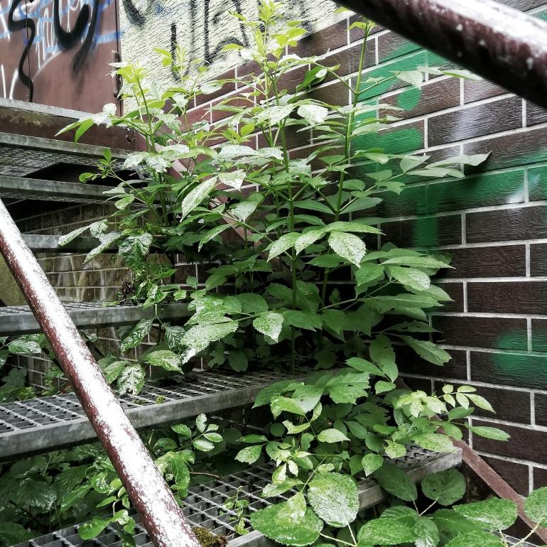 Eine rostige Treppe, deren Lack sich bereits löst. Zwischen den Metalltreppenstufen wachsen üppige Sträucher.